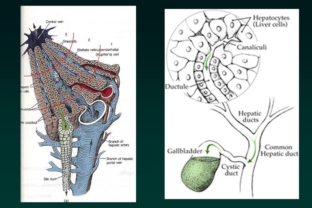 Vie biliari dilatate Se viene dimostrata una dilatazione delle vie biliari intraepatiche è indicato lintervento chirurgico.