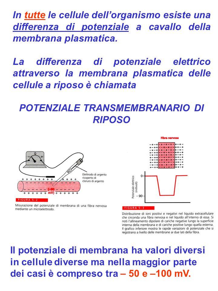 Mantenimento dei gradienti ionici: ruolo della pompa sodio-potassio La pompa sodio potassio ATPasi è responsabile del mantenimento della differenza di concentrazione del sodio e del potassio tra un lato e laltro della membrana Natura elettrogenica della pompa La pompa sodio potassio ATPasi trasferendo uno dei due cationi in eccesso rispetto allaltro, sostiene attraverso la membrana un trasferimento netto di cariche elettriche, quindi genera direttamente una differenza di potenziale transmembranario (nellordine di 3-4 mV)
