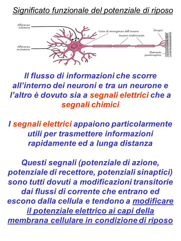 Genesi del potenziale di riposo 1) Composizione ionica differente fra lesterno e linterno della cellula 2) Dotazione di canali ionici che determinano la permeabilità selettiva della membrana (canali ionici passivi) 3) Trasportatori di membrana (pompa Na-K-ATPasi) che mantengono la concentrazione ionica
