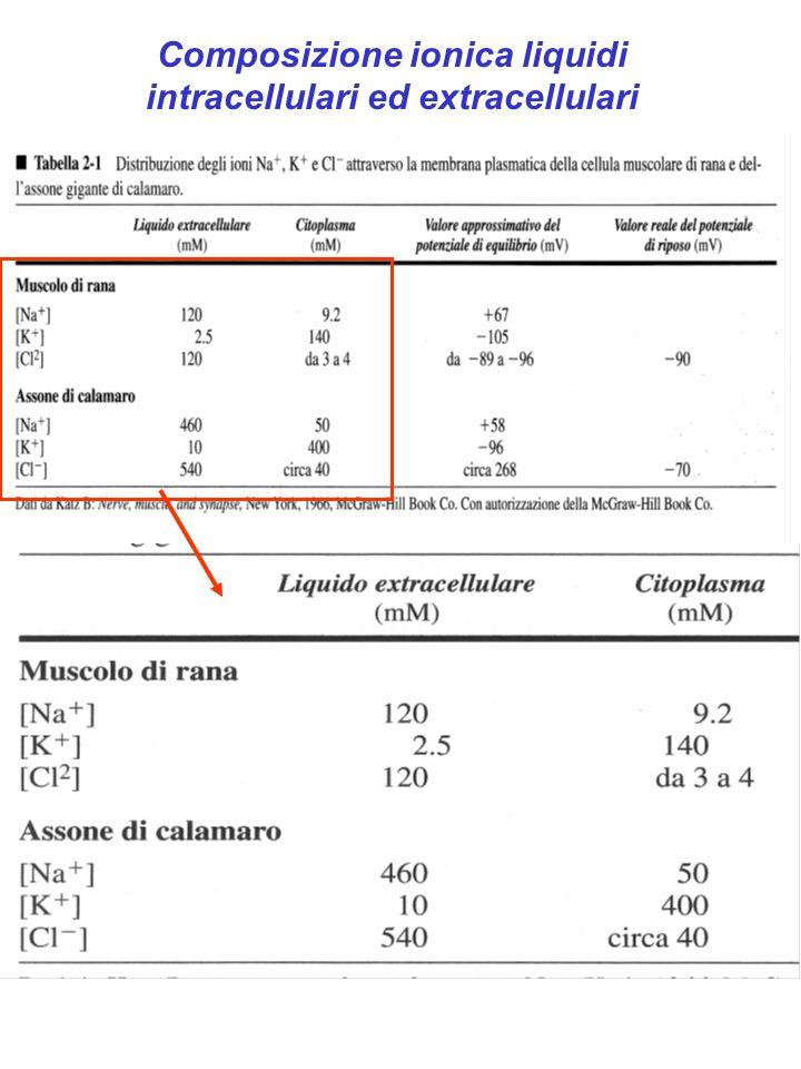 Potenziale di equilibrio: K + -94 mV/-105 mV Na + +61mV/+67 mV Cl - - 70 mV/-90 mV
