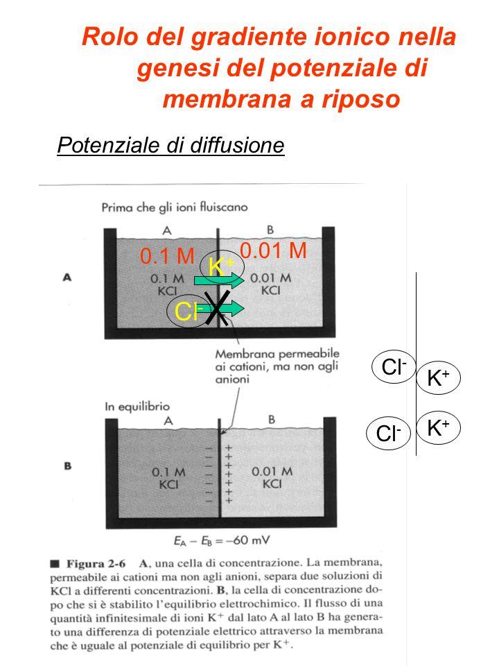 K+ (35:1) Na+ (10:1) Cl - (25:1) Rapporto di concentrazione ioni diffusibili Permebilità ioni diffusibili Il potenziale di riposo è determinato dai canali ionici passivi della membrana