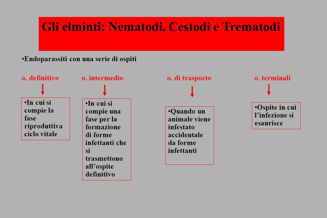 Ancylostoma duodenale Anchilostomiasi (grave anemia: perdita eritrocitaria Sede infestazione: duodeno (1000 adulti x 4-7 anni)