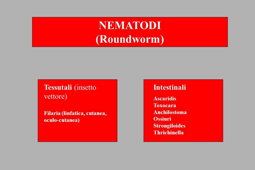 Ascaris lumbricoides – verme adulto (femmina: presenza del solco circolare con poro genitale: freccia) -Reazione allergica agli stadi invasivi (febbre, malessere e preminenti disturbi respiratori.