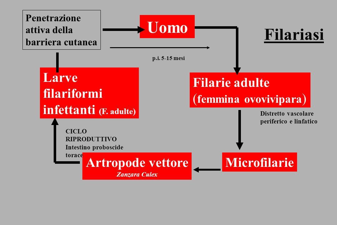 Microfilaria di Onchocerca volvulus (skin snip) Noduli cutanei e sottocutanei, dermatite oncocercotica, dermatite a pelle di leopardo, lesioni oculari (River blindness) Insetto vettore: Simulium (moscerino), il quale assume le filarie durante il pasto ematico.