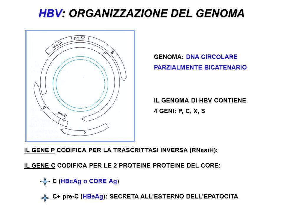 HBV: ORGANIZZAZIONE DEL GENOMA IL GENE P CODIFICA PER LA TRASCRITTASI INVERSA (RNasiH): IL GENE C CODIFICA PER LE 2 PROTEINE PROTEINE DEL CORE: C (HBcAg o CORE Ag) C+ pre-C (HBeAg): SECRETA ALLESTERNO DELLEPATOCITA GENOMA: DNA CIRCOLARE PARZIALMENTE BICATENARIO IL GENOMA DI HBV CONTIENE 4 GENI: P, C, X, S