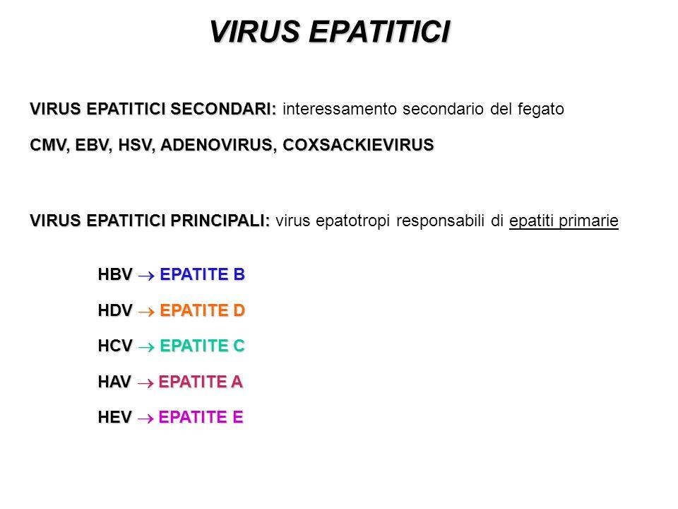 VIRUS EPATITICI VIRUS EPATITICI PRINCIPALI: VIRUS EPATITICI PRINCIPALI: virus epatotropi responsabili di epatiti primarie HBV EPATITE B HDV EPATITE D HCV EPATITE C HAV EPATITE A HEV EPATITE E VIRUS EPATITICI SECONDARI: VIRUS EPATITICI SECONDARI: interessamento secondario del fegato CMV, EBV, HSV, ADENOVIRUS, COXSACKIEVIRUS