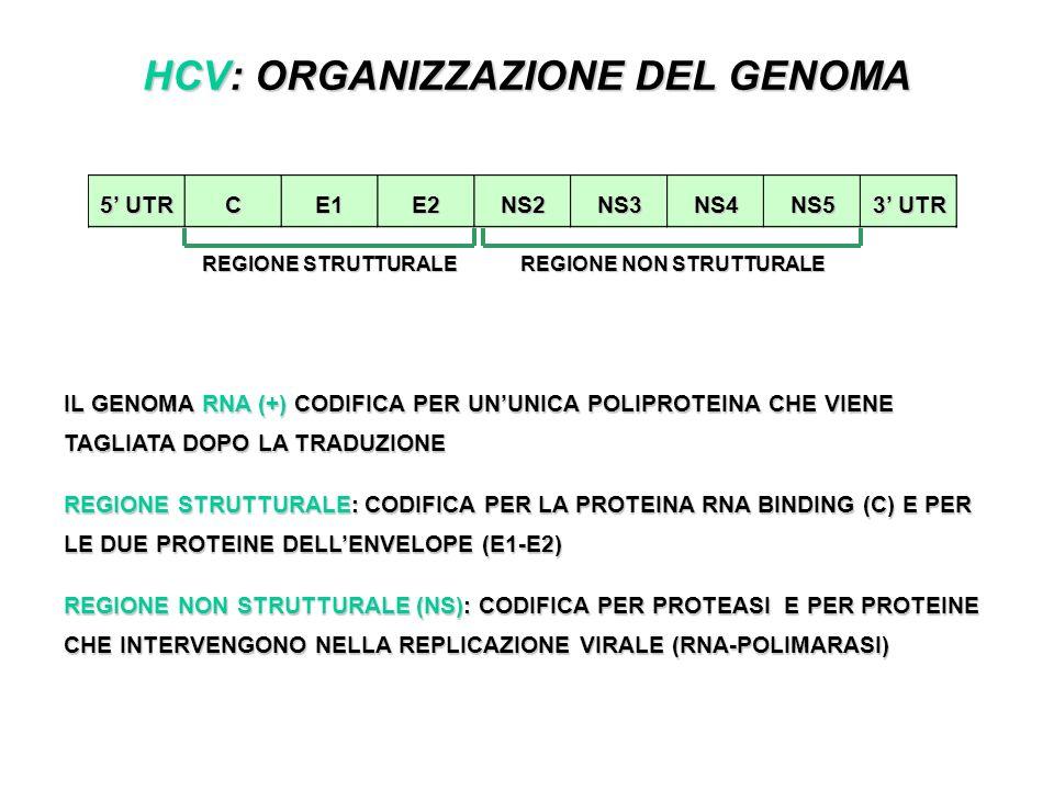 HCV: ORGANIZZAZIONE DEL GENOMA IL GENOMA RNA (+) CODIFICA PER UNUNICA POLIPROTEINA CHE VIENE TAGLIATA DOPO LA TRADUZIONE REGIONE STRUTTURALE: CODIFICA PER LA PROTEINA RNA BINDING (C) E PER LE DUE PROTEINE DELLENVELOPE (E1-E2) REGIONE NON STRUTTURALE (NS): CODIFICA PER PROTEASI E PER PROTEINE CHE INTERVENGONO NELLA REPLICAZIONE VIRALE (RNA-POLIMARASI) CNS4NS2NS5NS3E2E1 5 UTR 3 UTR REGIONE STRUTTURALE REGIONE NON STRUTTURALE