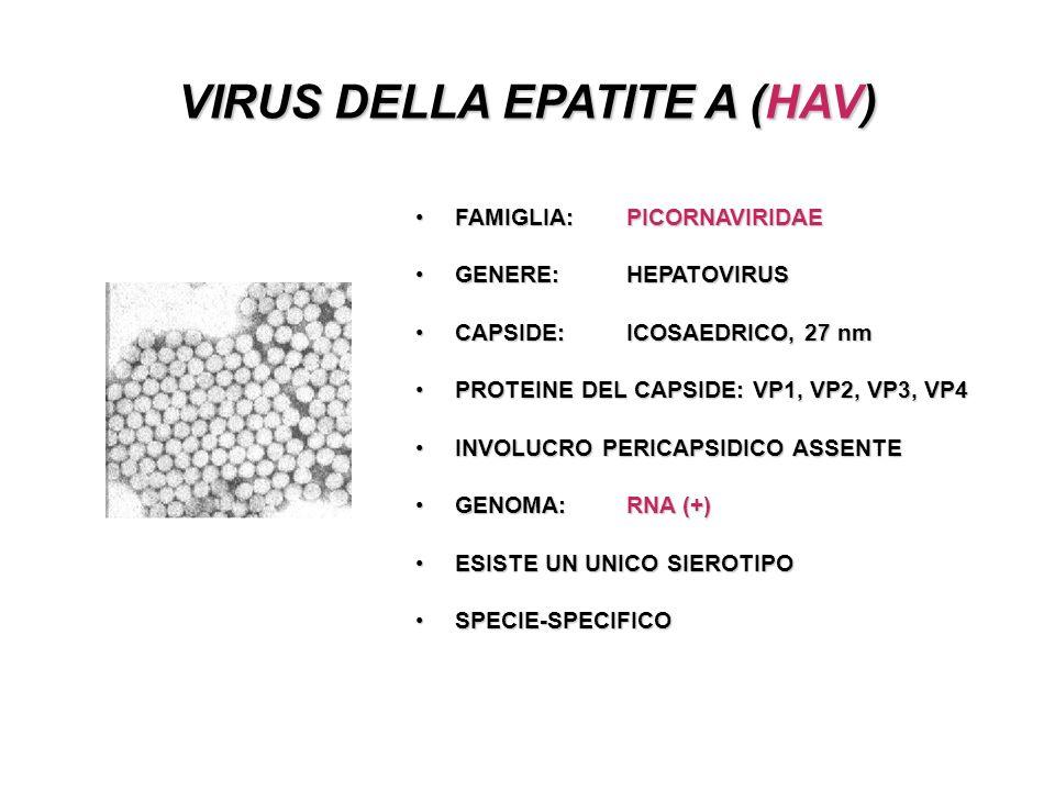 VIRUS DELLA EPATITE A (HAV) FAMIGLIA: PICORNAVIRIDAEFAMIGLIA: PICORNAVIRIDAE GENERE: HEPATOVIRUSGENERE: HEPATOVIRUS CAPSIDE:ICOSAEDRICO, 27 nmCAPSIDE:ICOSAEDRICO, 27 nm PROTEINE DEL CAPSIDE: VP1, VP2, VP3, VP4PROTEINE DEL CAPSIDE: VP1, VP2, VP3, VP4 INVOLUCRO PERICAPSIDICO ASSENTEINVOLUCRO PERICAPSIDICO ASSENTE GENOMA: RNA (+)GENOMA: RNA (+) ESISTE UN UNICO SIEROTIPOESISTE UN UNICO SIEROTIPO SPECIE-SPECIFICOSPECIE-SPECIFICO