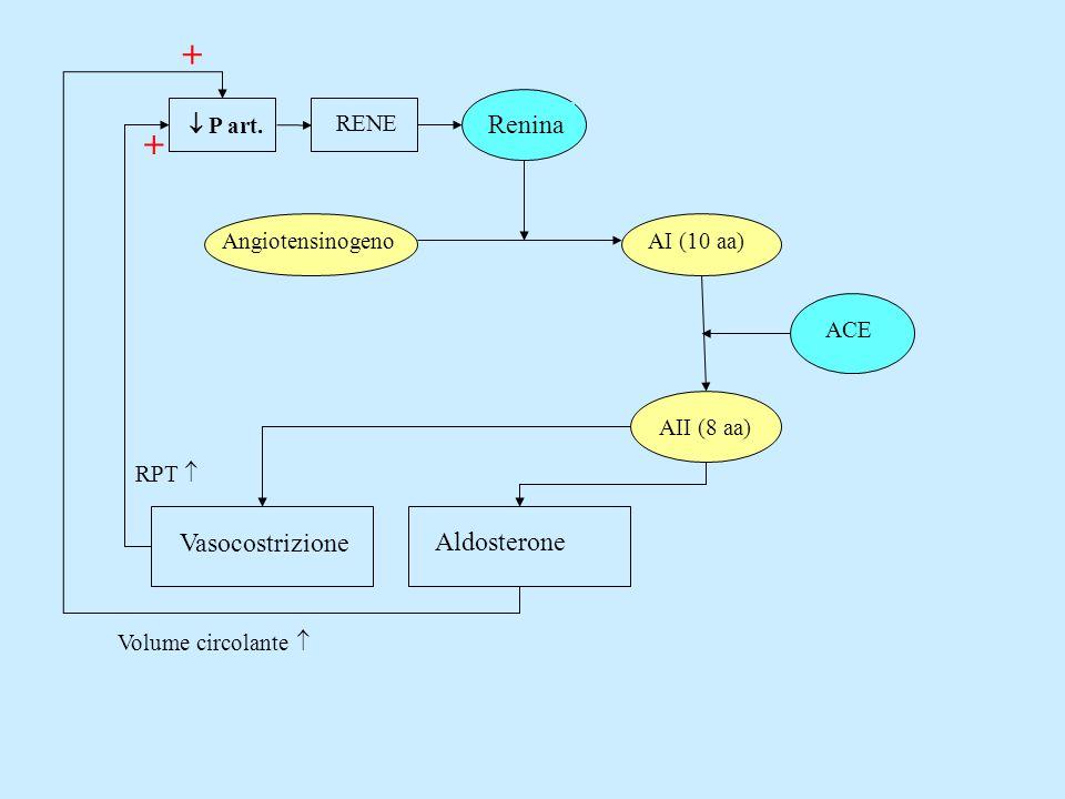Renina AngiotensinogenoAI (10 aa) P art. RENE AII (8 aa)ACE + + Vasocostrizione Aldosterone RPT Volume circolante