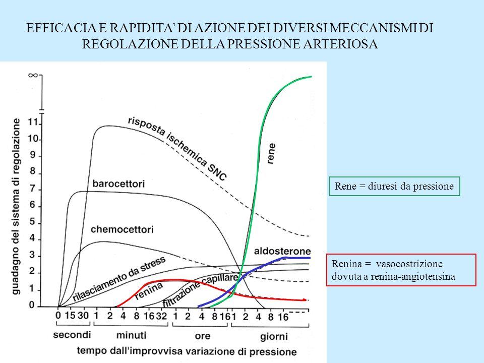 Renina = vasocostrizione dovuta a renina-angiotensina Rene = diuresi da pressione EFFICACIA E RAPIDITA DI AZIONE DEI DIVERSI MECCANISMI DI REGOLAZIONE