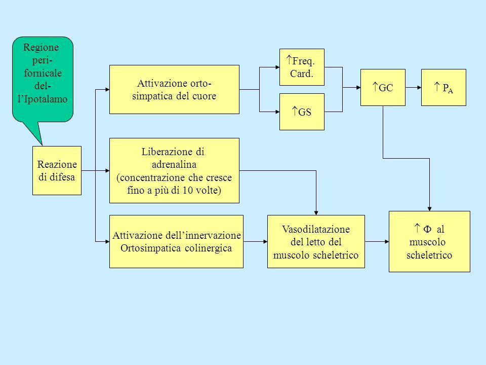 Attivazione orto- simpatica del cuore Liberazione di adrenalina (concentrazione che cresce fino a più di 10 volte) Attivazione dellinnervazione Ortosi