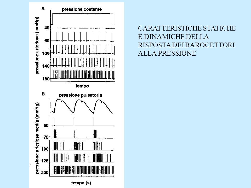 Nucleo del tratto solitario Afferenze da barocettori, chemocettori, volumecettori Nucleo motore dorsale del vago Nucleo ambiguo Centro cardio-inibitore Efferenza vagale al cuore Regione vaso- depressoria mediale e caudale Regione vaso-pressoria laterale e rostrale Neuroni pre- gangliari ortosimpatici CUORE MIDOLLO ALLUNGATO ARTERIOLE VENE IPOTALAMO Regione depressoria Nucleo sopraottico