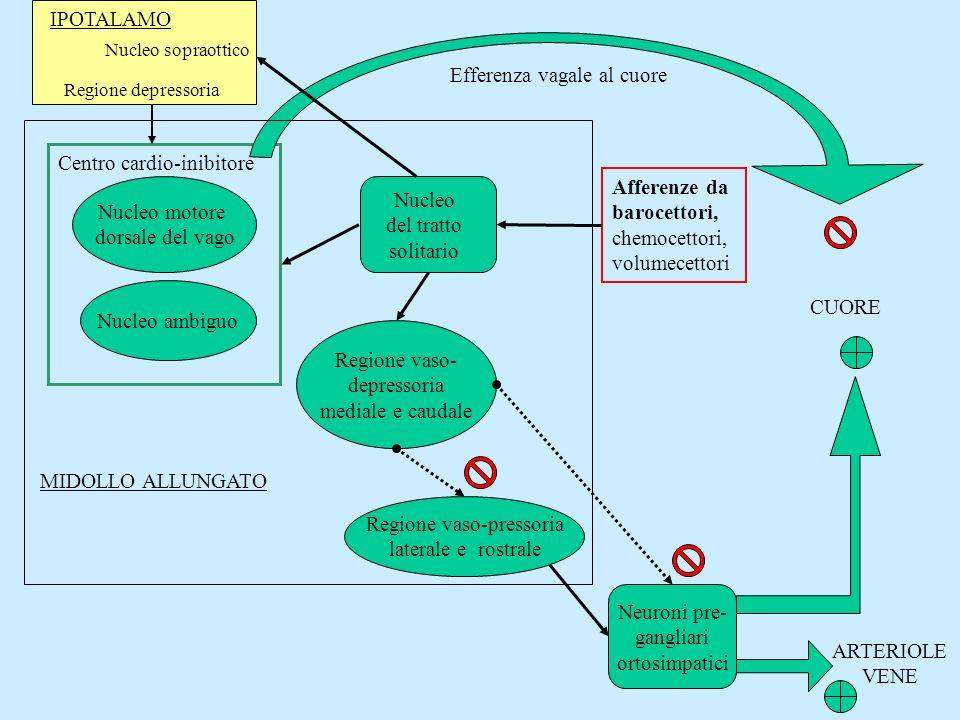 Nucleo del tratto solitario Afferenze da barocettori, chemocettori, volumecettori Nucleo motore dorsale del vago Nucleo ambiguo Centro cardio-inibitor