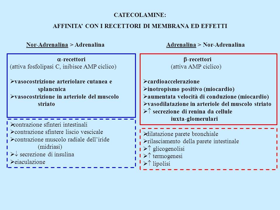 CATECOLAMINE: AFFINITA CON I RECETTORI DI MEMBRANA ED EFFETTI Nor-Adrenalina > AdrenalinaAdrenalina > Nor-Adrenalina -recettori (attiva fosfolipasi C,