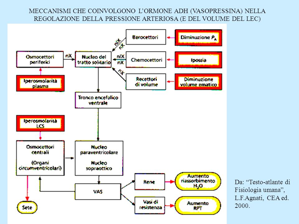 MECCANISMI CHE COINVOLGONO LORMONE ADH (VASOPRESSINA) NELLA REGOLAZIONE DELLA PRESSIONE ARTERIOSA (E DEL VOLUME DEL LEC) Da: Testo-atlante di Fisiolog
