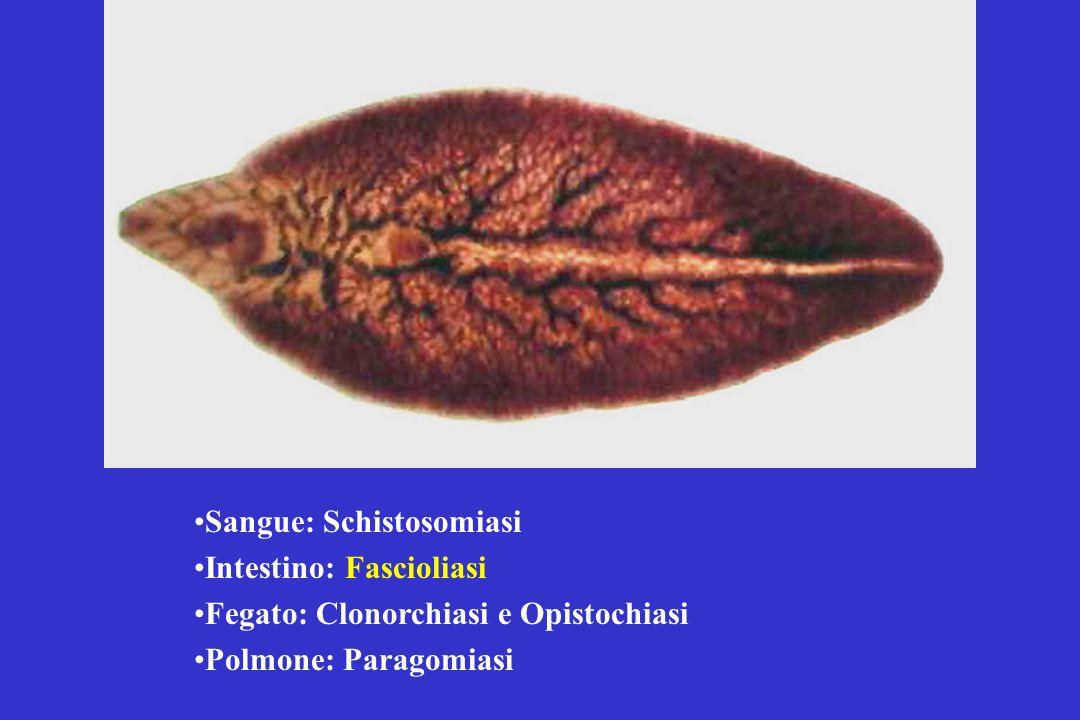 Sangue: Schistosomiasi Intestino: Fascioliasi Fegato: Clonorchiasi e Opistochiasi Polmone: Paragomiasi