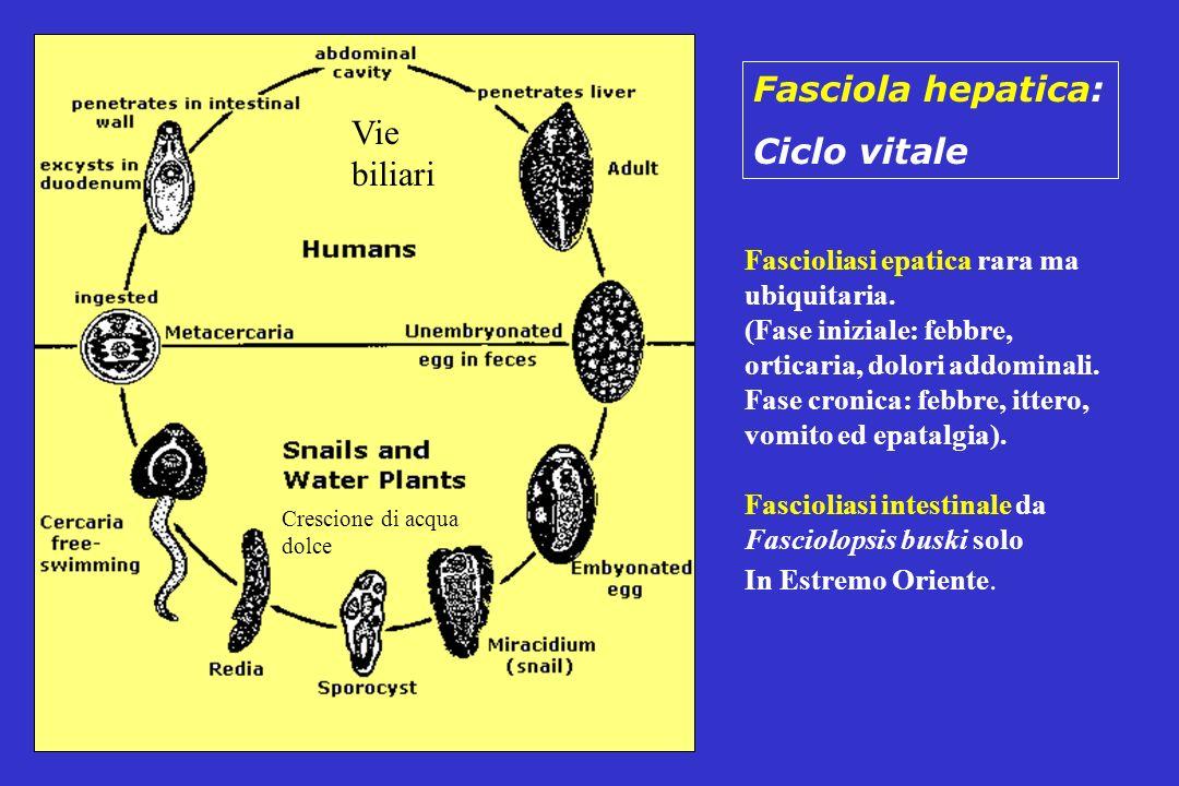 Fasciola hepatica: Ciclo vitale Fascioliasi epatica rara ma ubiquitaria. (Fase iniziale: febbre, orticaria, dolori addominali. Fase cronica: febbre, i