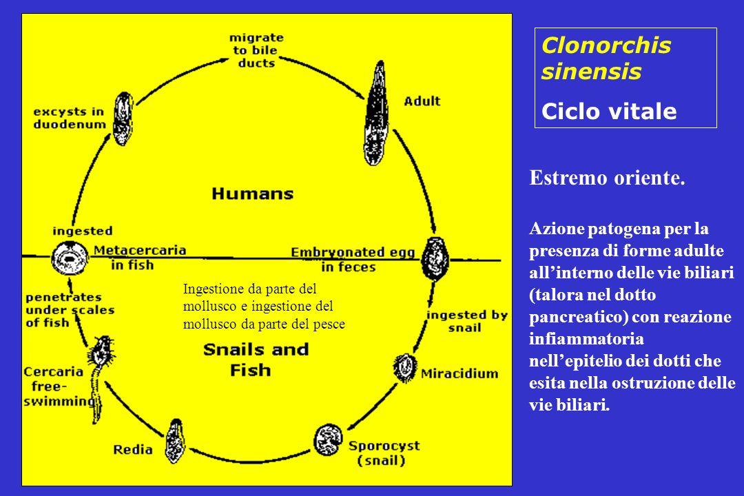 Clonorchis sinensis Ciclo vitale Estremo oriente. Azione patogena per la presenza di forme adulte allinterno delle vie biliari (talora nel dotto pancr