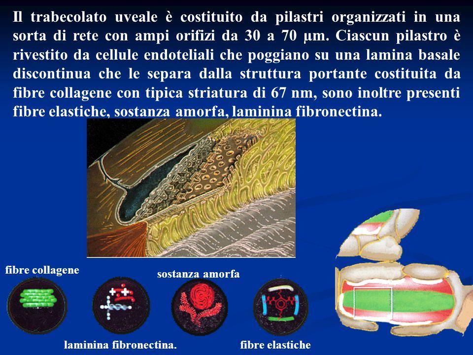 Il trabecolato uveale è costituito da pilastri organizzati in una sorta di rete con ampi orifizi da 30 a 70 µm. Ciascun pilastro è rivestito da cellul