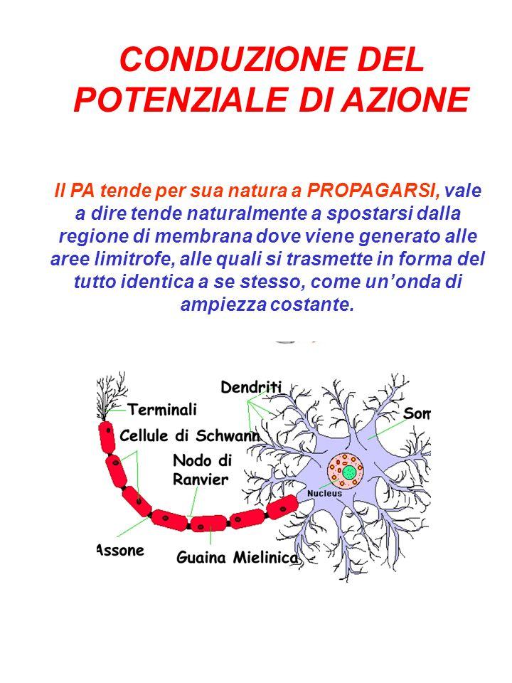 CONDUZIONE DEL POTENZIALE DI AZIONE Il PA tende per sua natura a PROPAGARSI, vale a dire tende naturalmente a spostarsi dalla regione di membrana dove