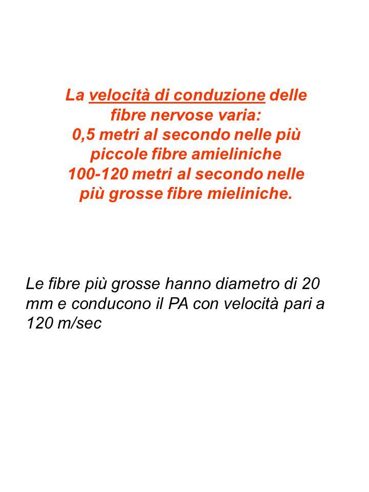 La velocità di conduzione delle fibre nervose varia: 0,5 metri al secondo nelle più piccole fibre amieliniche 100-120 metri al secondo nelle più gross