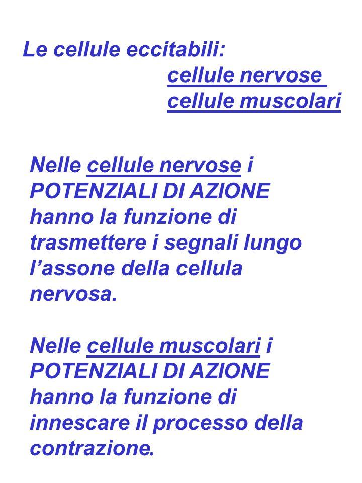 Le cellule eccitabili: cellule nervose cellule muscolari Nelle cellule nervose i POTENZIALI DI AZIONE hanno la funzione di trasmettere i segnali lungo