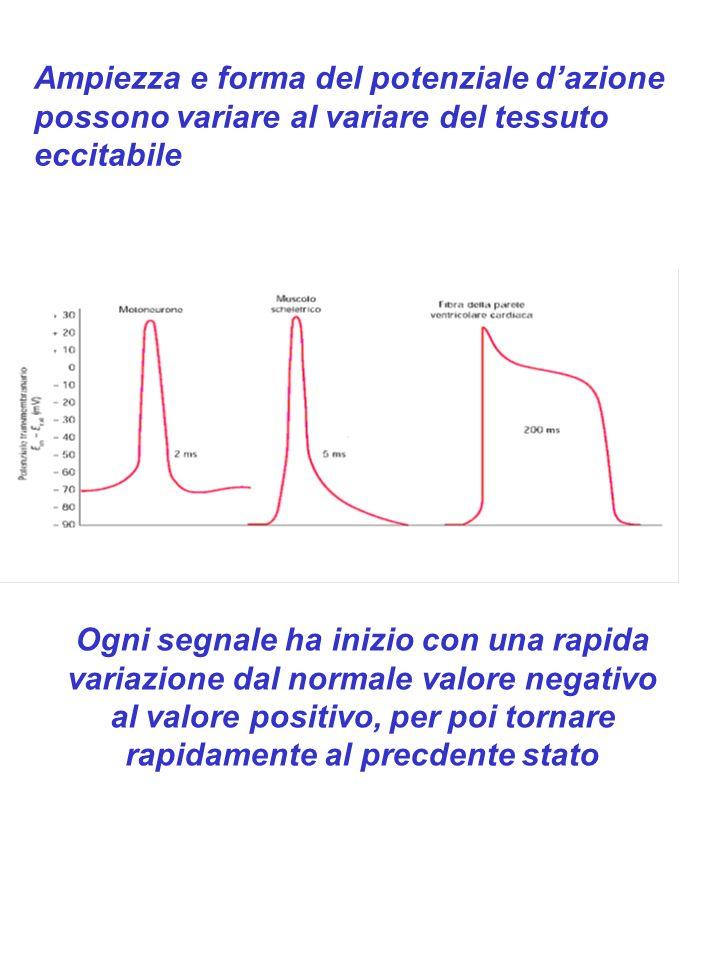 Caratteristiche del potenziale di azione Il PA è un fenomeno transitorio che insorge e si estingue in breve tempo (1 msec) In tutti i PA sono presenti due fasi: la fase di DEPOLARIZZAZIONE e la fase di RIPOLARIZZAZIONE Il PA insorge solo quando la membrana, ad opera di uno stimolo, viene depolarizzata fino ad un livello critico che definisce la SOGLIA del potenziale di azione Una volta che il PA è innescato assume unampiezza ed un decorso che sono indipendenti dai caratteri dello stimolo che lo hanno evocato: legge del TUTTO o NULLA Se dopo un primo stimolo viene applicato un secondo stimolo di uguale intensità, per un certo periodo di tempo la cellula non è in grado di generare un secondo PA: Periodo di REFRATTARIETA