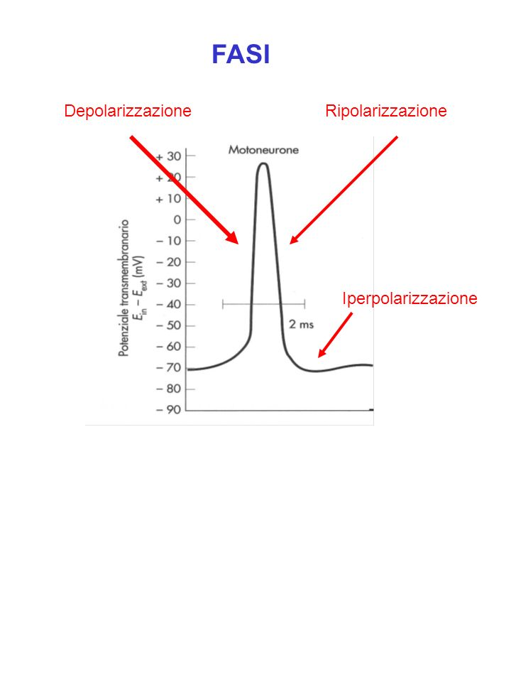 Velocità di conduzione Effetto del calibro R in RmRm RmRm Il trasporto del segnale lungo la fibra è più efficiente quanto più è alto il rapporto