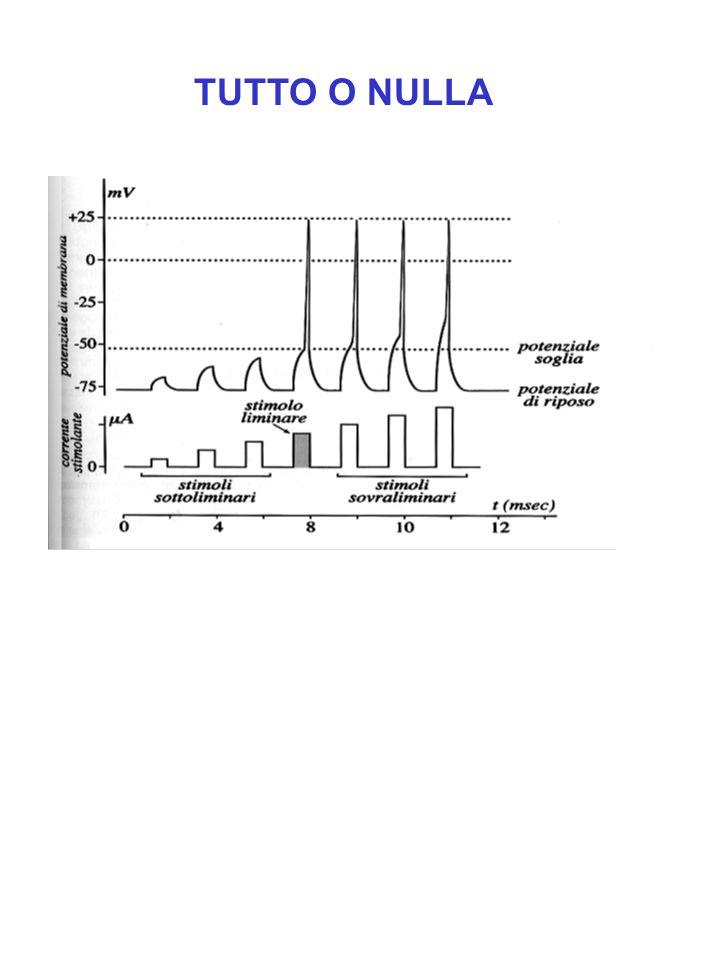 Conduzione saltatoria Vantaggi: 1)La velocità della conduzione aumenta da 5 a 50 volte 2)Risparmio energetico, la quantità di ioni che attraversano la membrana è un centinaio di volte inferiore