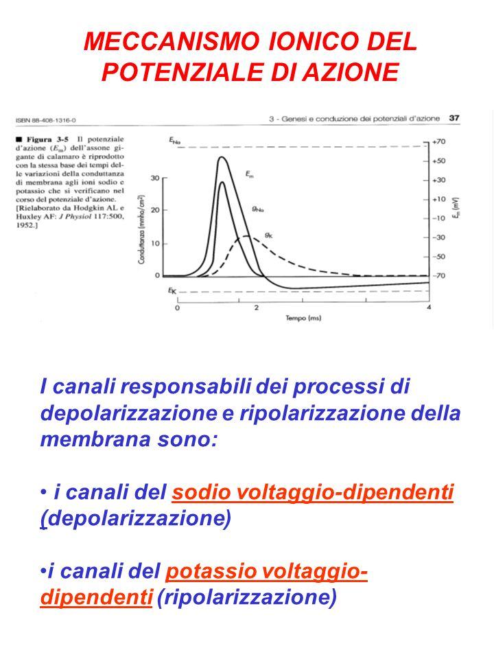 MECCANISMO IONICO DEL POTENZIALE DI AZIONE I canali responsabili dei processi di depolarizzazione e ripolarizzazione della membrana sono: i canali del