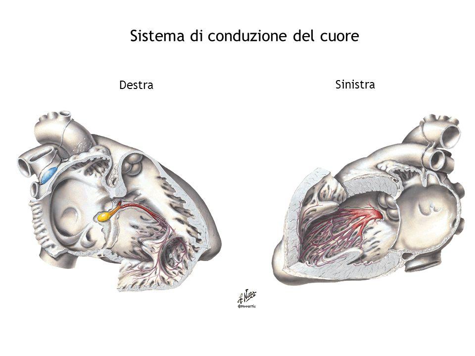 Sistema di conduzione del cuore Sinistra Destra