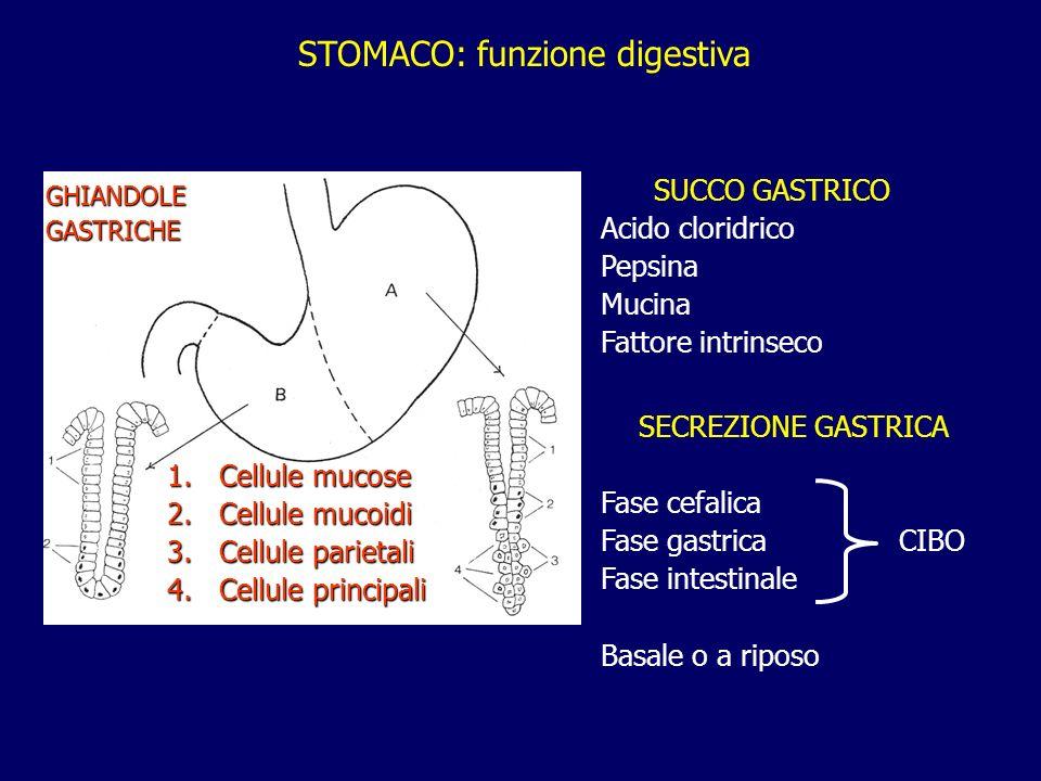 SUCCO GASTRICO Acido cloridrico Pepsina Mucina Fattore intrinseco STOMACO: funzione digestiva SECREZIONE GASTRICA Fase cefalica Fase gastrica CIBO Fas