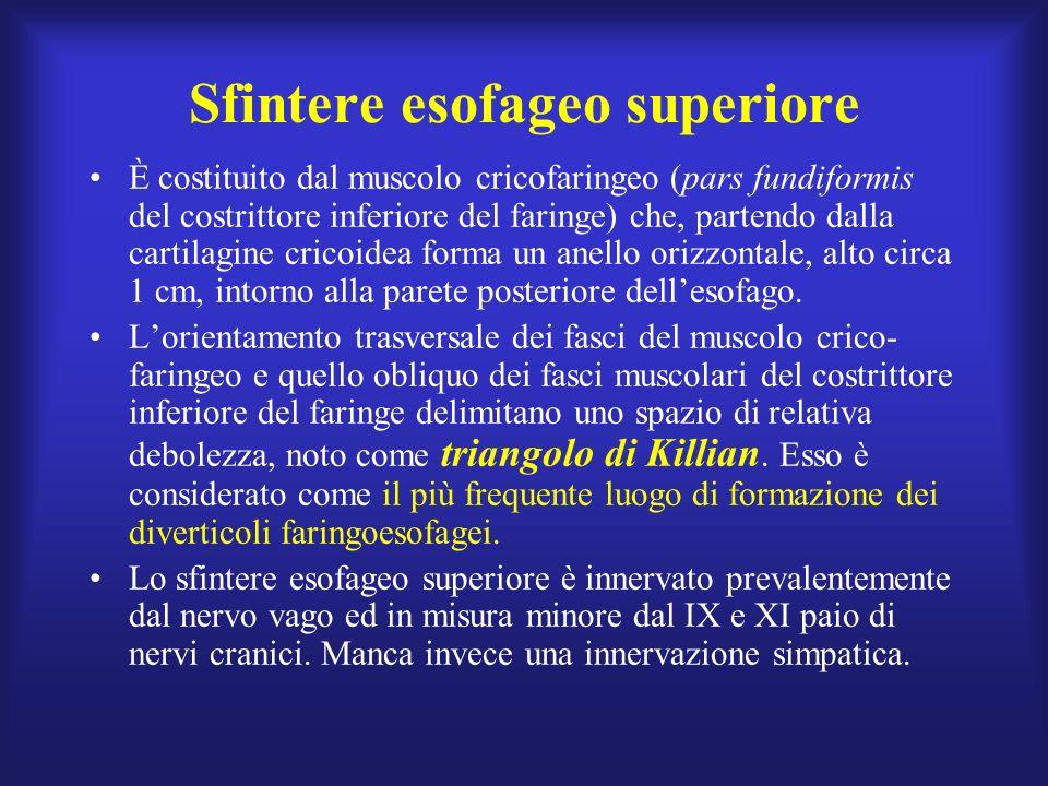 Corpo dellesofago Il passaggio dallepitelio liscio, pallido, squamoso dellesofago (di colore rosa-argento) nellepitelio cilindrico dello stomaco (di colore rosso intenso) forma una linea netta di demarcazione, con andamento a zig-zag, denominata, nella terminologia endoscopica, linea Z.