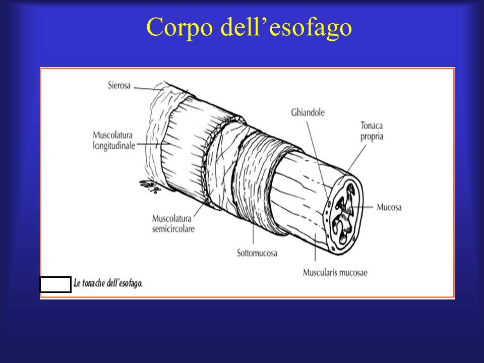 esofago distale a coda di topo