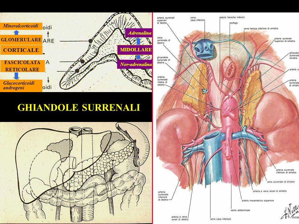 Adrenalina Nor-adrenalina CORTICALE Glucocorticoidi androgeni Mineralcorticoidi GLOMERULARE GHIANDOLE SURRENALI FASCICOLATA RETICOLARE MIDOLLARE