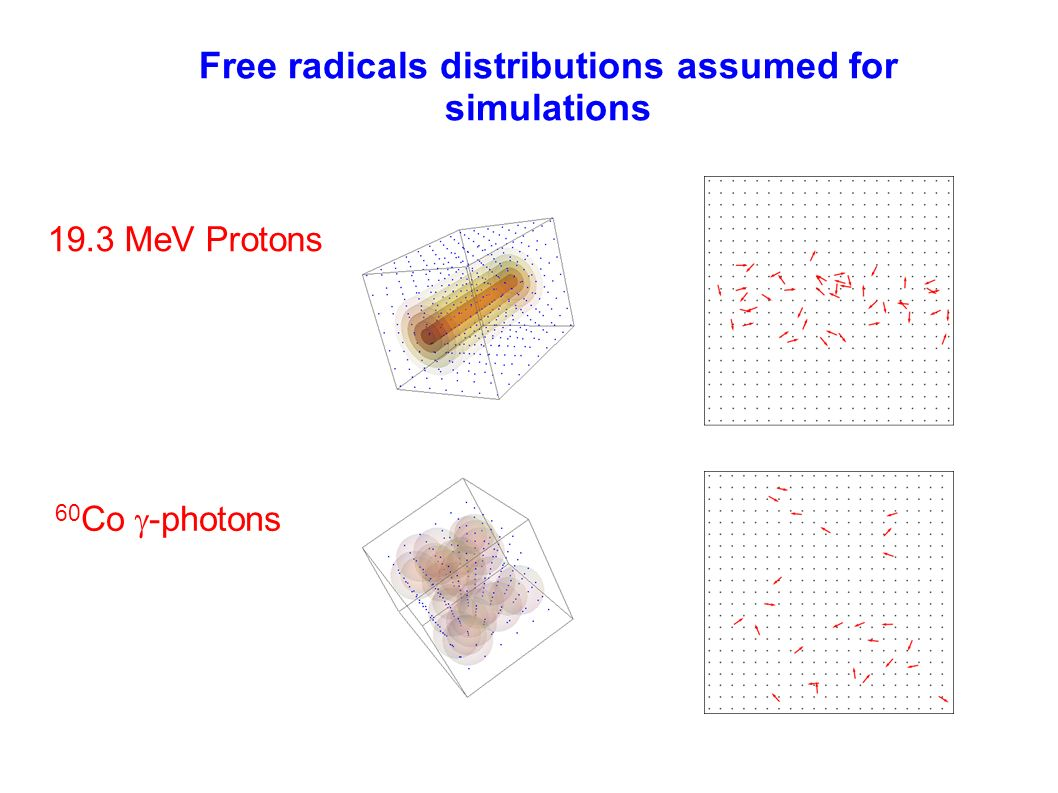 Free radicals distributions assumed for simulations 60 Co -photons 19.3 MeV Protons