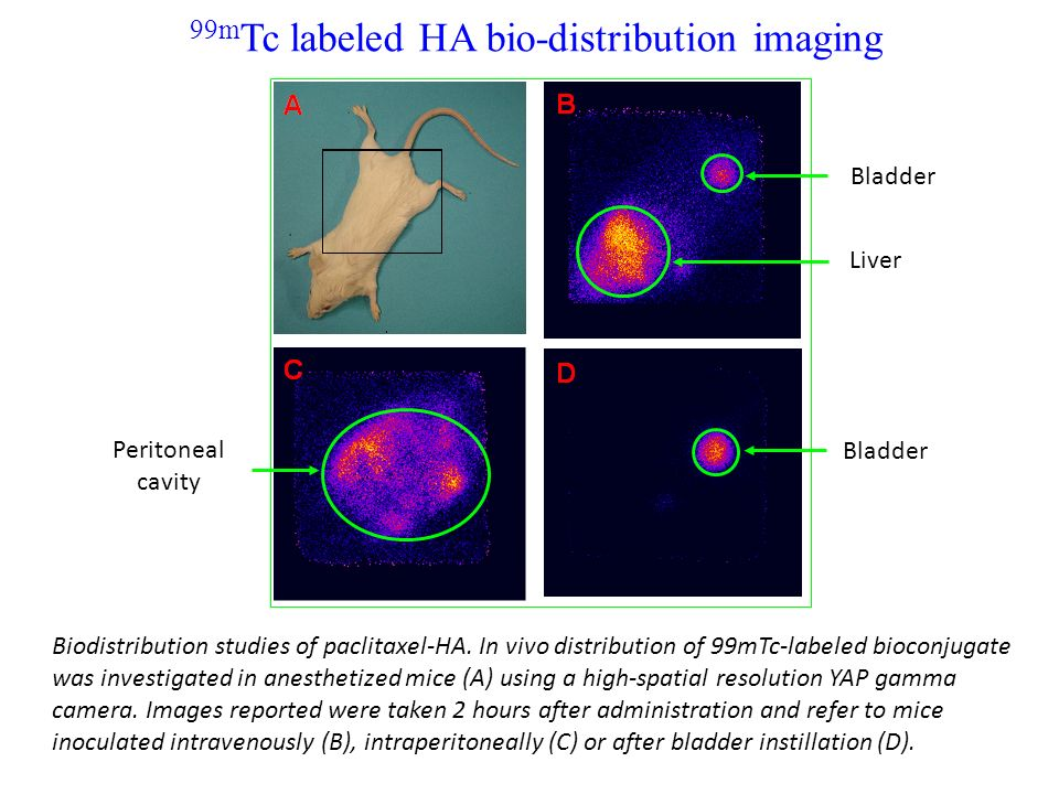 99m Tc labeled HA bio-distribution imaging Liver Bladder Peritoneal cavity Bladder Biodistribution studies of paclitaxel-HA. In vivo distribution of 9