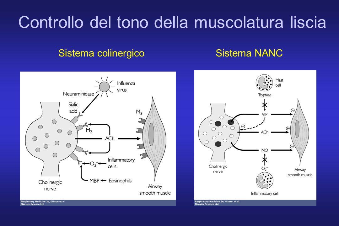 Controllo del tono della muscolatura liscia Sistema colinergicoSistema NANC