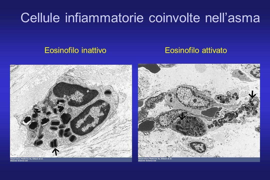 Cellule infiammatorie coinvolte nellasma Eosinofilo inattivoEosinofilo attivato