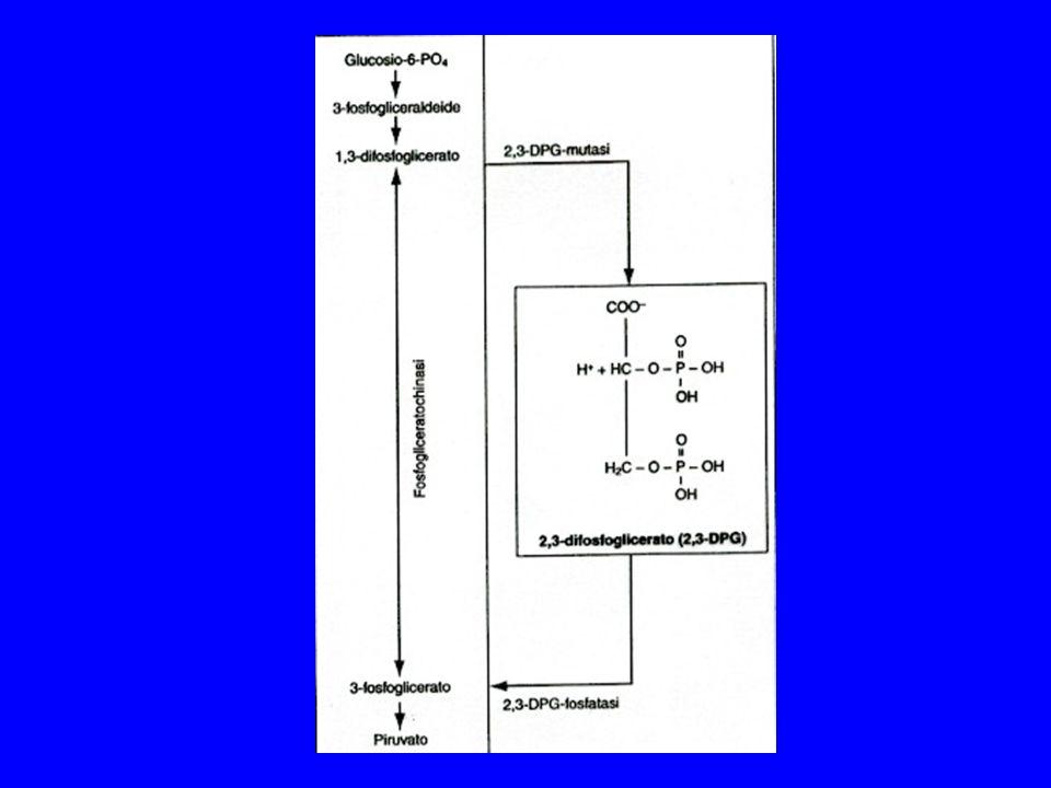 - Aumentata secrezione di eritropoietina - Produzione di HIF1 (hypoxia-inducible factor) (regolatore trascrizionale) - Mobilizzazione di eritrociti dalla milza - Riduzione della volemia (per disidratazione e diuresi ANF-indotta) MODIFICAZIONI SULLA COMPOSIZIONE DEL SANGUE