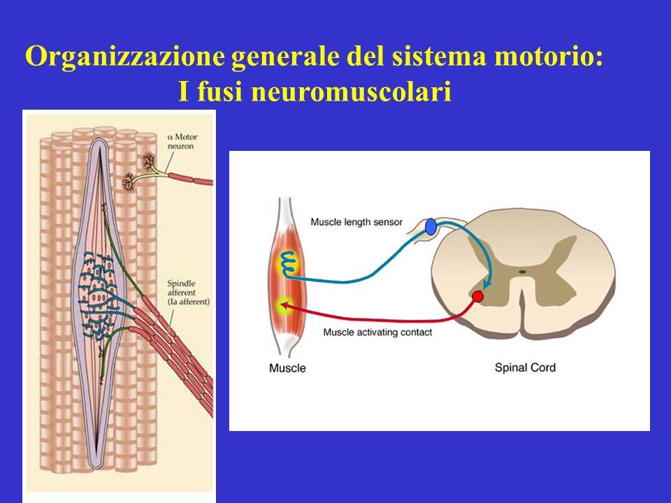 Organizzazione generale del sistema motorio: I fusi neuromuscolari