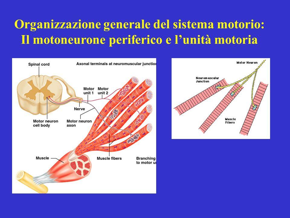 Organizzazione generale del sistema motorio: Il motoneurone periferico e lunità motoria