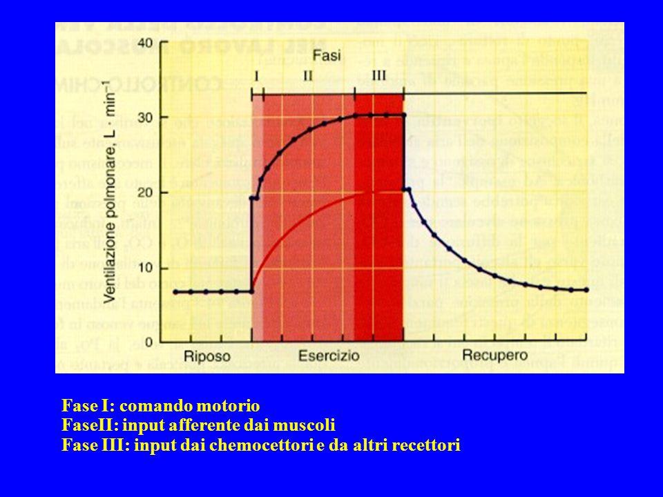 Fase I: comando motorio FaseII: input afferente dai muscoli Fase III: input dai chemocettori e da altri recettori