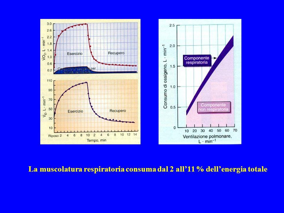 La muscolatura respiratoria consuma dal 2 all11 % dellenergia totale