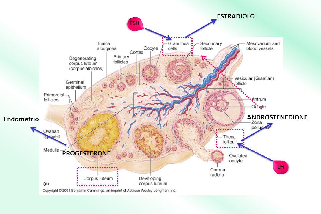 LH ANDROSTENEDIONE FSH ESTRADIOLO PROGESTERONE Endometrio