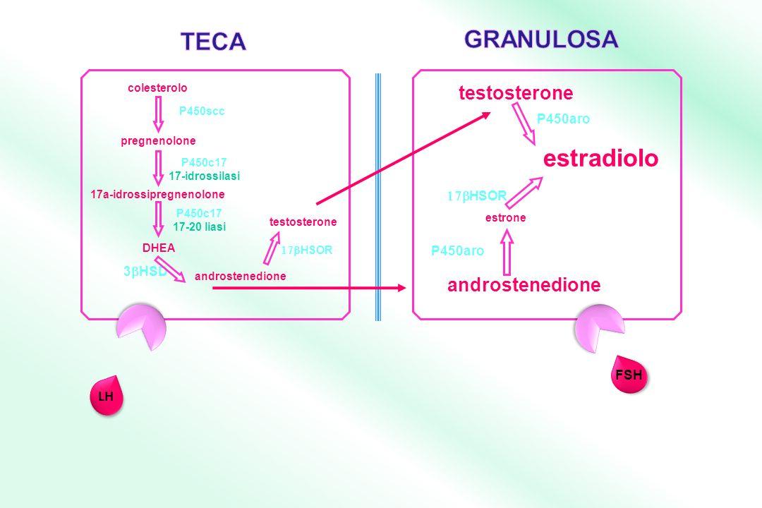 androstenedione testosterone estradiolo 17a-idrossipregnenolone P450c17 17-20 liasi P450c17 17-idrossilasi androstenedione 3 HSD colesterolo pregnenolone P450scc DHEA estrone P450aro HSOR P450aro testosterone LH FSH