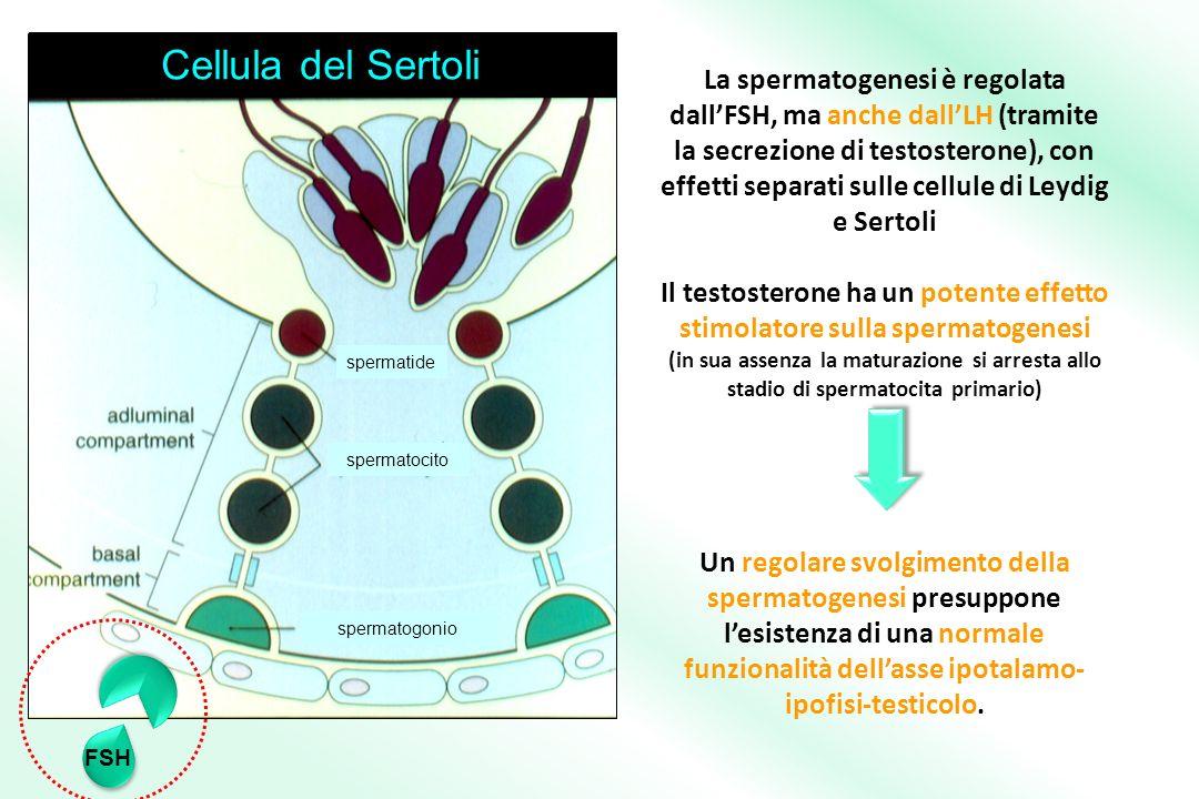 La spermatogenesi è regolata dallFSH, ma anche dallLH (tramite la secrezione di testosterone), con effetti separati sulle cellule di Leydig e Sertoli Il testosterone ha un potente effetto stimolatore sulla spermatogenesi (in sua assenza la maturazione si arresta allo stadio di spermatocita primario) Un regolare svolgimento della spermatogenesi presuppone lesistenza di una normale funzionalità dellasse ipotalamo- ipofisi-testicolo.