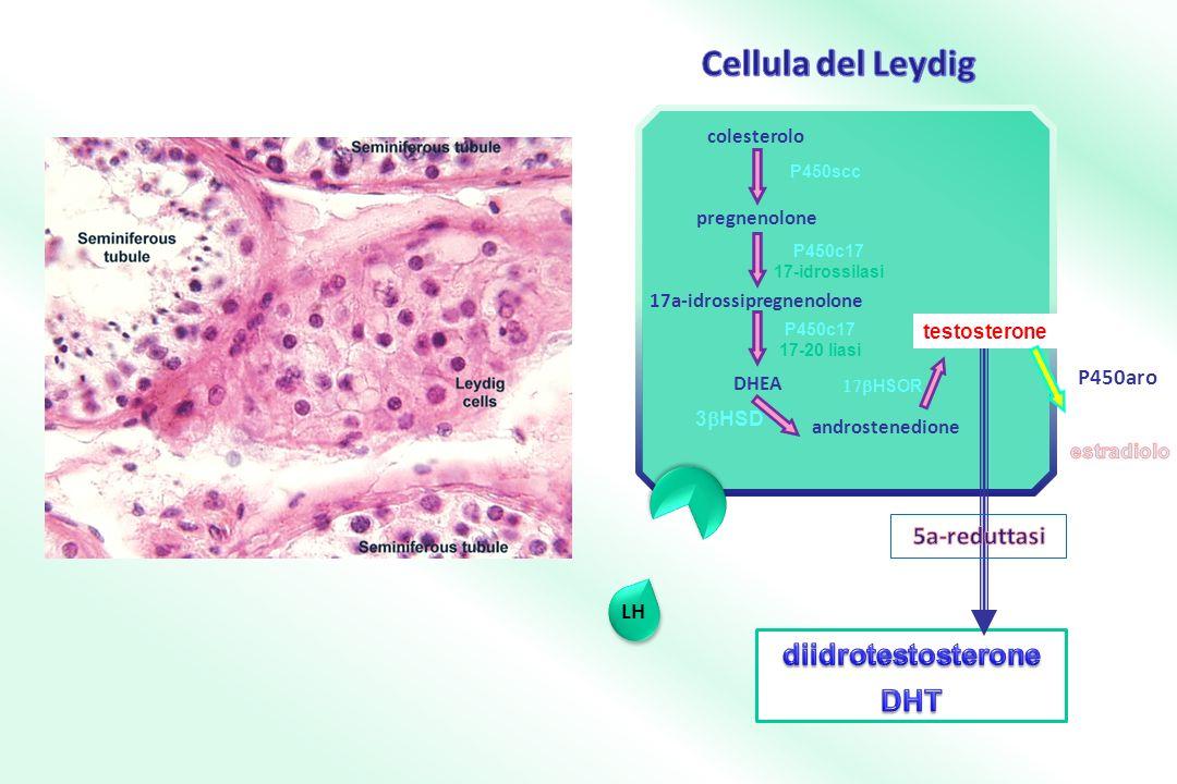 LH 17a-idrossipregnenolone P450c17 17-20 liasi P450c17 17-idrossilasi androstenedione 3 HSD colesterolo pregnenolone P450scc DHEA HSOR testosterone P450aro
