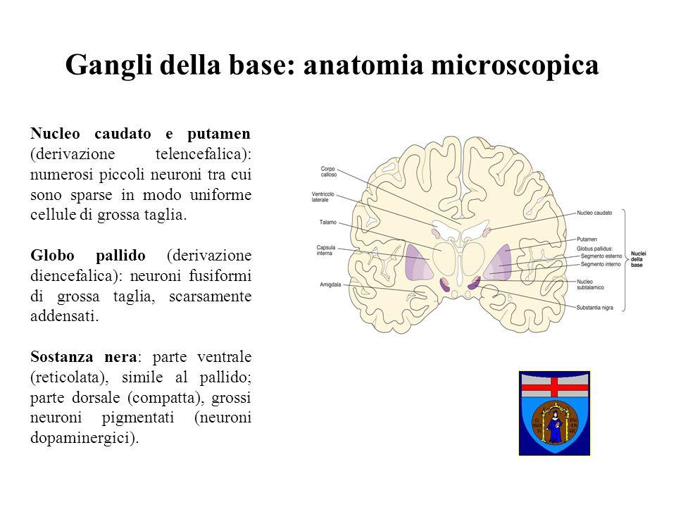 Gangli della base: anatomia microscopica Nucleo caudato e putamen (derivazione telencefalica): numerosi piccoli neuroni tra cui sono sparse in modo un