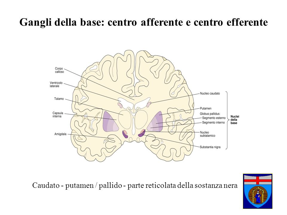 Caudato - putamen / pallido - parte reticolata della sostanza nera Gangli della base: centro afferente e centro efferente